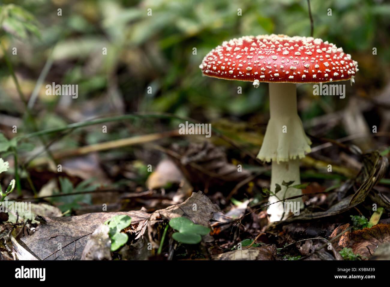 Mushroom Amanita Muscaria close up in landscape - Stock Image