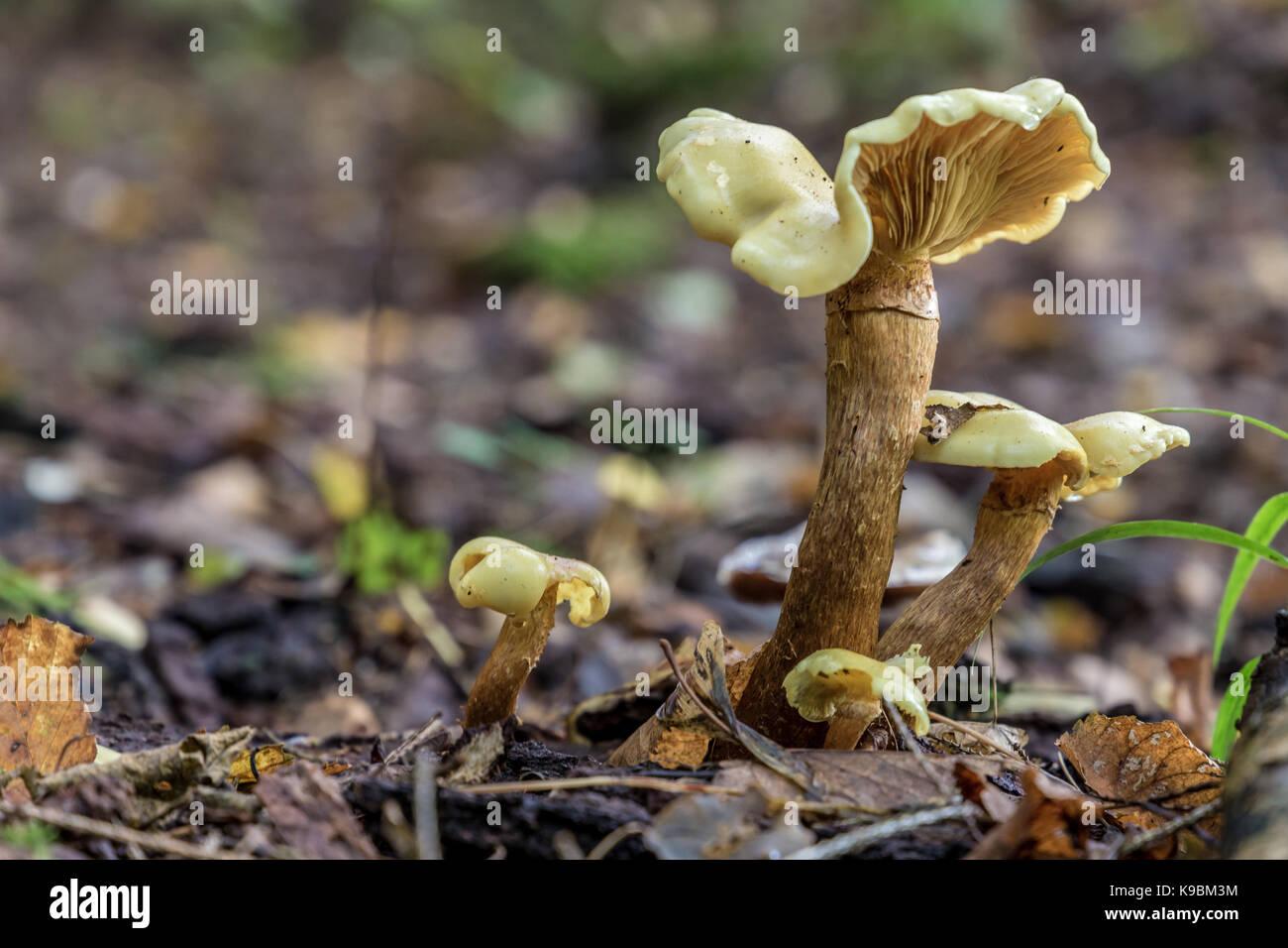 Family of Albatrellus confluens in close-up landscape - Stock Image