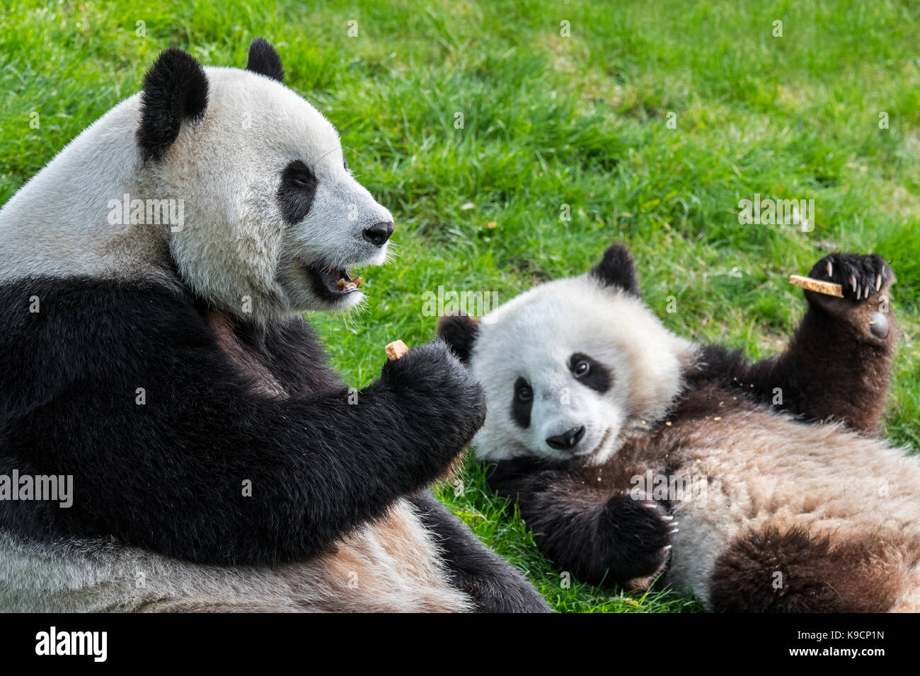 Giant panda (Ailuropoda melanoleuca) female with one-year old cub eating cookies in zoo - Stock Image