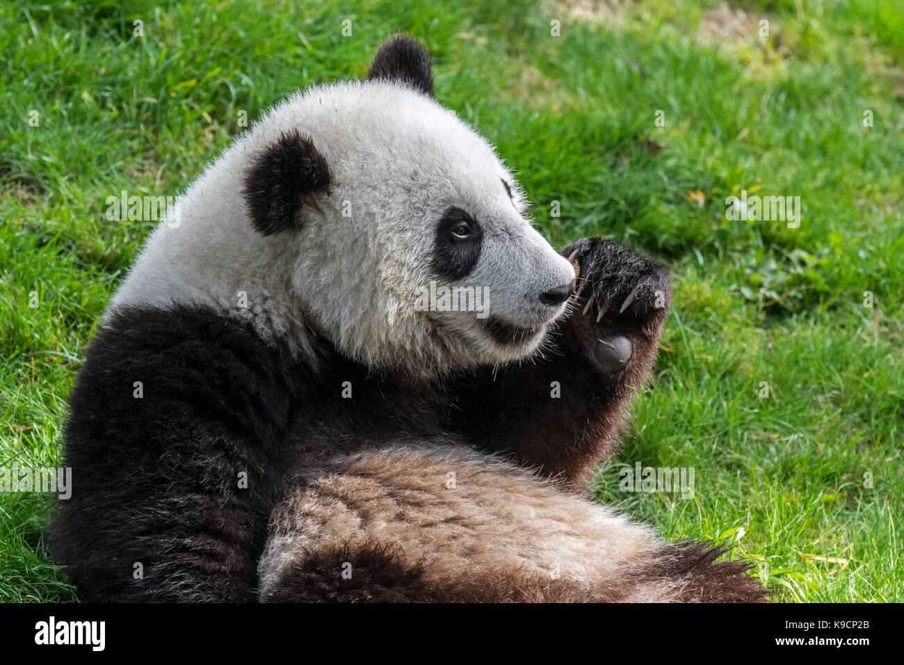 panda wikipedia english