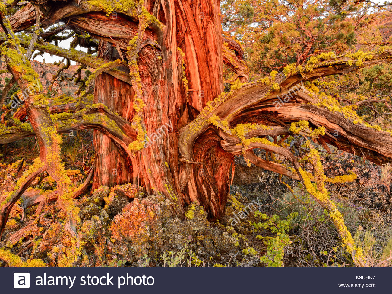 Ancient Knarly Western Juniper with first glow of dawn light, Lava Beds National Monument, California - Stock Image