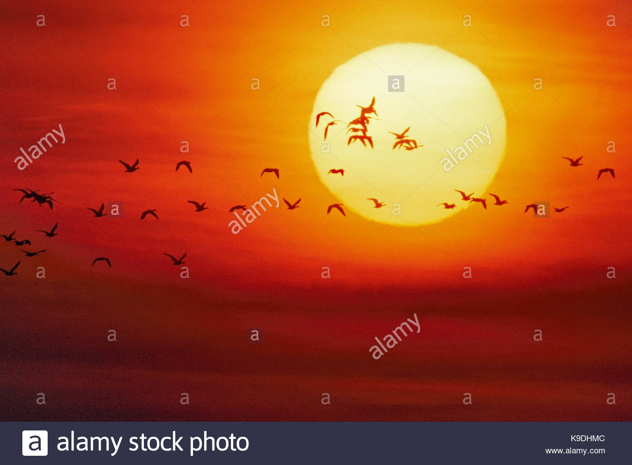 Snow Geese Flying into Setting Sun, Gray Lodge Wildlife Area, California - Stock Image