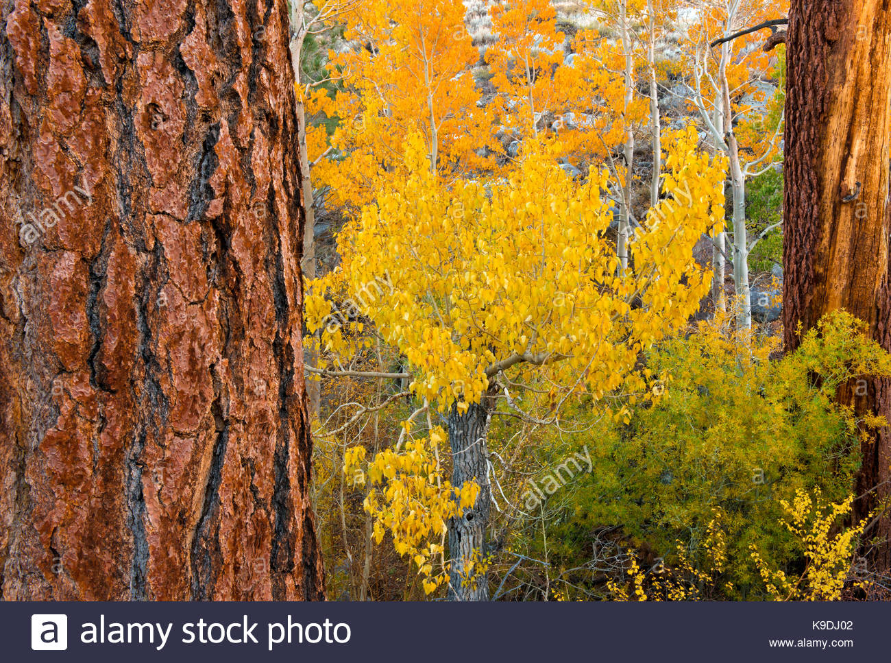 Jeffrey Pine, Cottonwood, Aspen and Willow, Inyo National Forest, Mono County, Caifornia - Stock Image