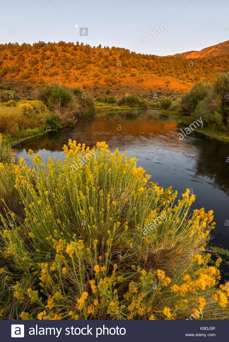Gray Rabbitbrush, Moon and the East Walker River at Dawn, Toiyabe National Forest, Mono County, California - Stock Image
