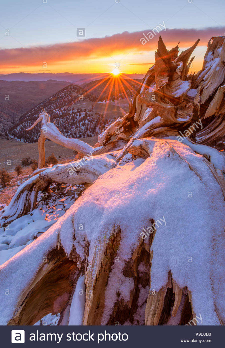 Snow-covered Ancient Bristlecone Pine Snag and Rising Sun, The White Mountain, sInyo National Forest, California - Stock Image