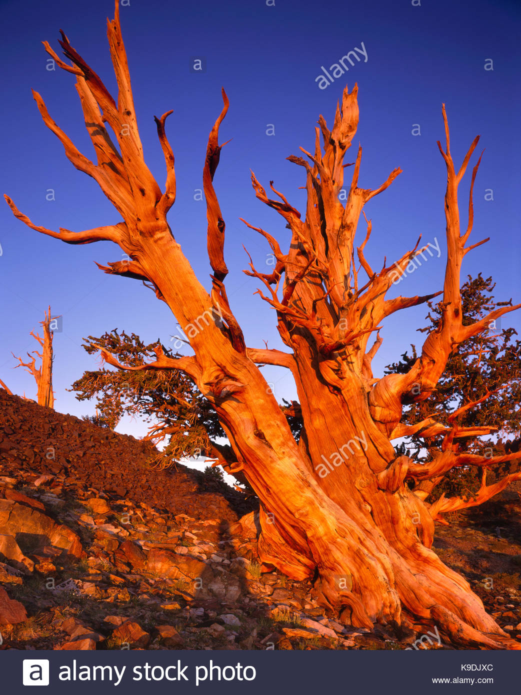 Ancient Bristlecone Pine with Sunrise Glow, The White Mountains, California - Stock Image