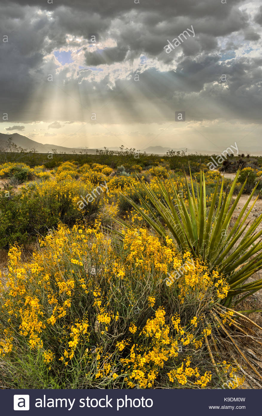 Yucca, Yellow Flowers end Sunrays at Sunset, Mojave National Preserve, California - Stock Image