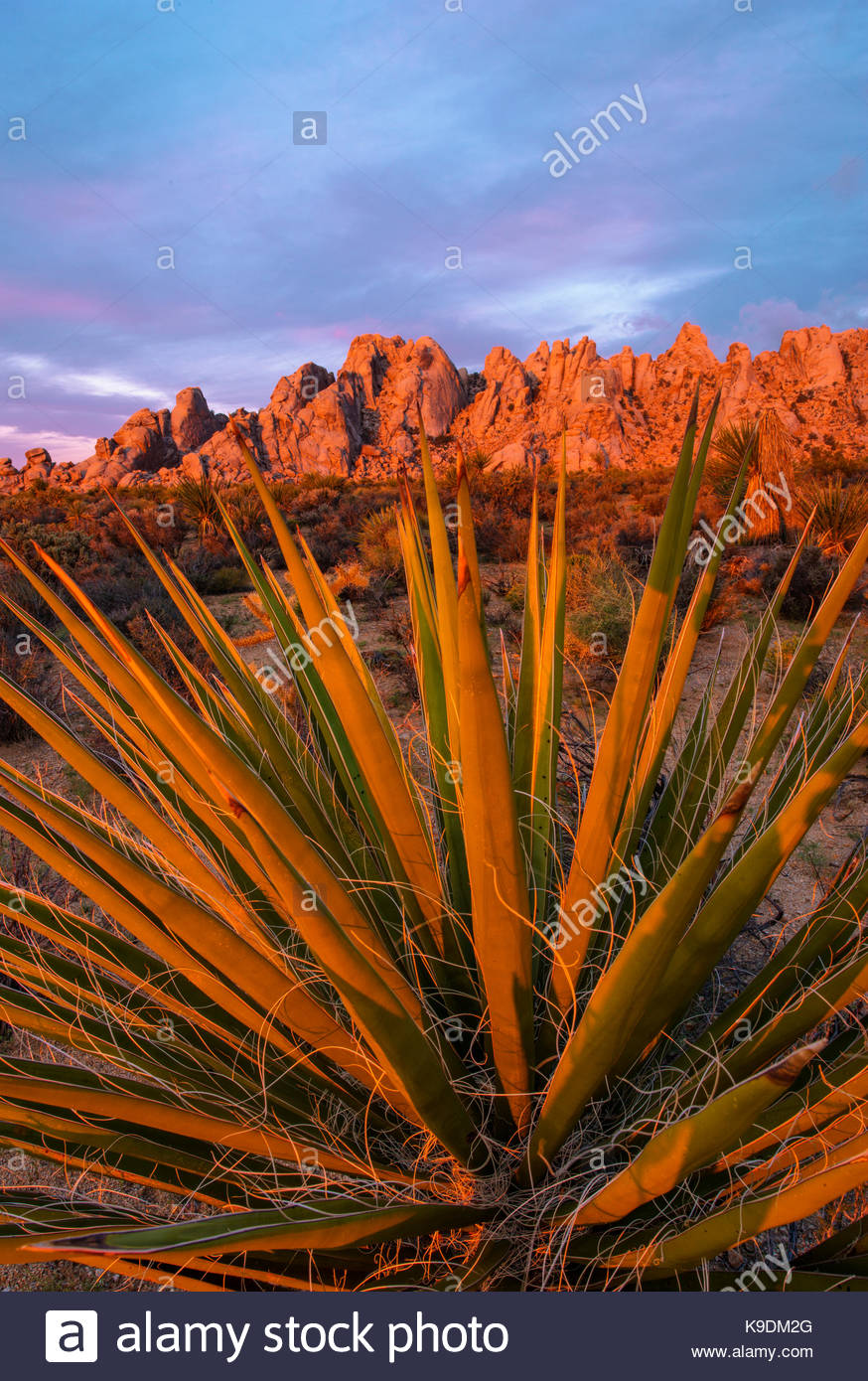 Yucca and Granite Mountains at Dawn, Mojave National Preserve, California - Stock Image