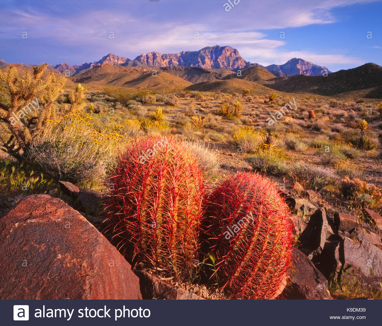 Barrel Cactus and theProvidence Mountains at Sunset,Mojave National Preserve, California - Stock Image