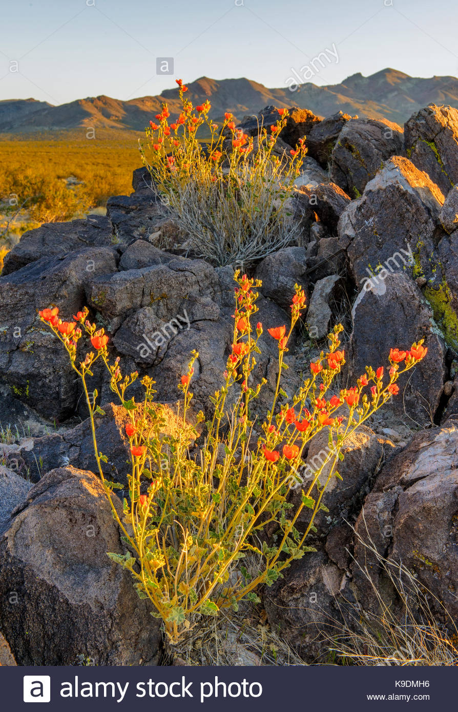 Coulter's Globemallow in the Greenwater Valley at Sunset, Death Valley National Park, California - Stock Image