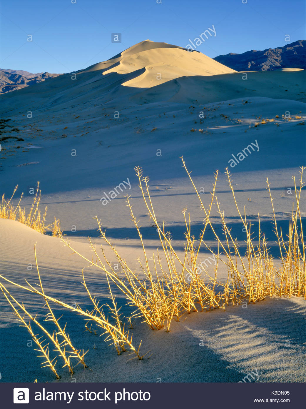 Eureka Dune Grass [endangered species] and Eureka Sand Dunes, Death Valley National Park, California - Stock Image