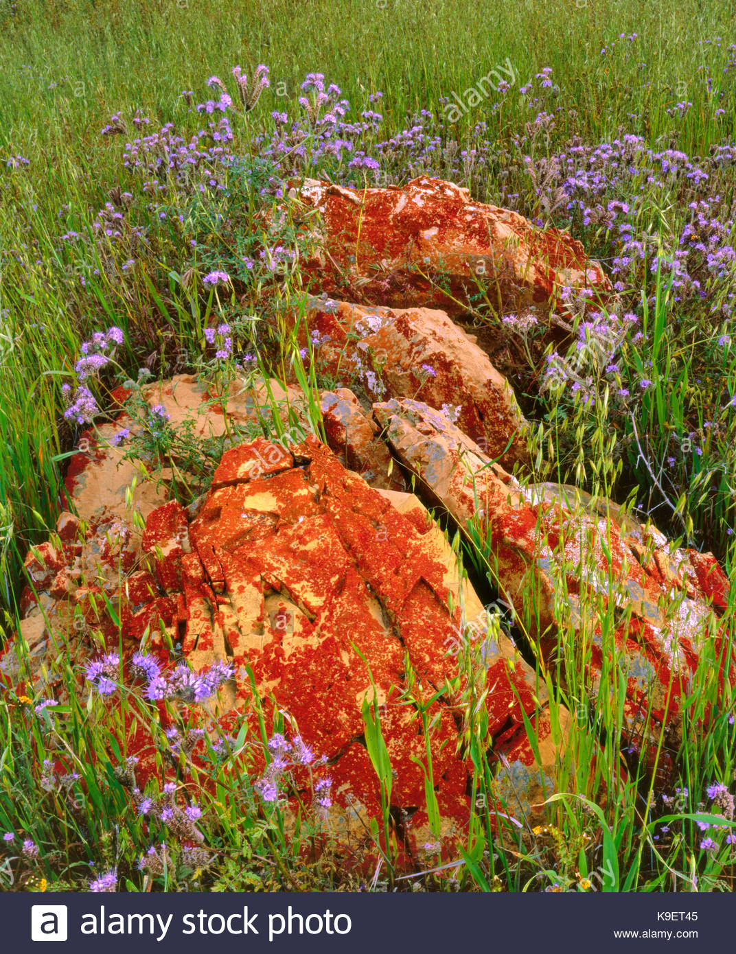 Phacelia and Lichen covered Rock, Carrizo Plain National Monument, California - Stock Image