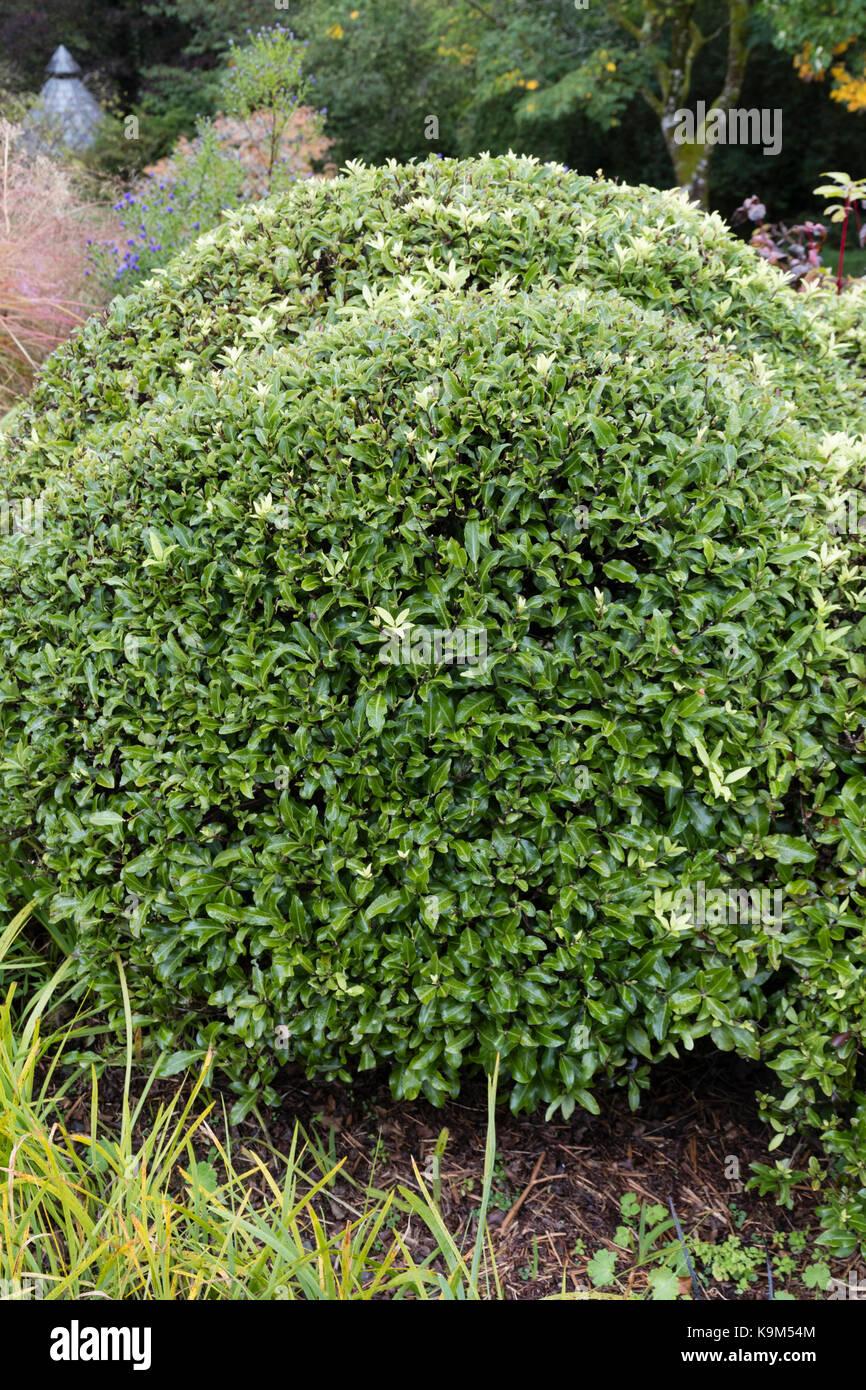 Geranium Bush Plant