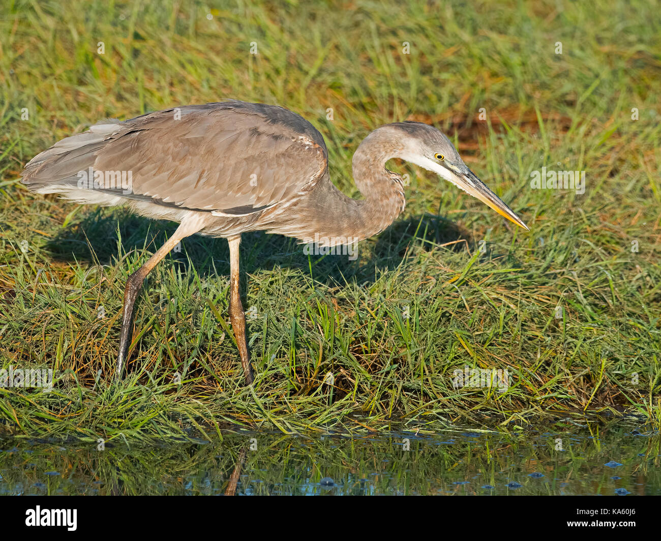 Great Blue Heron Hunting - Stock Image