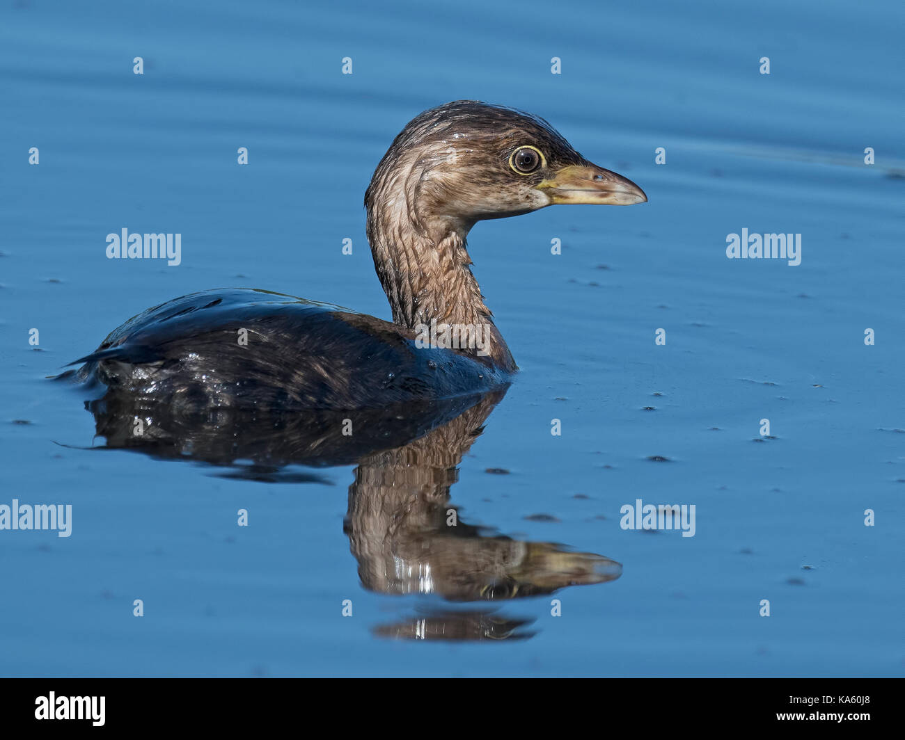 Pied-billed Grebe - Stock Image