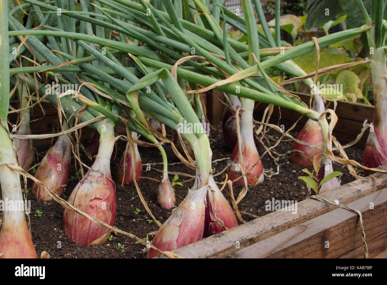 Red onions growing