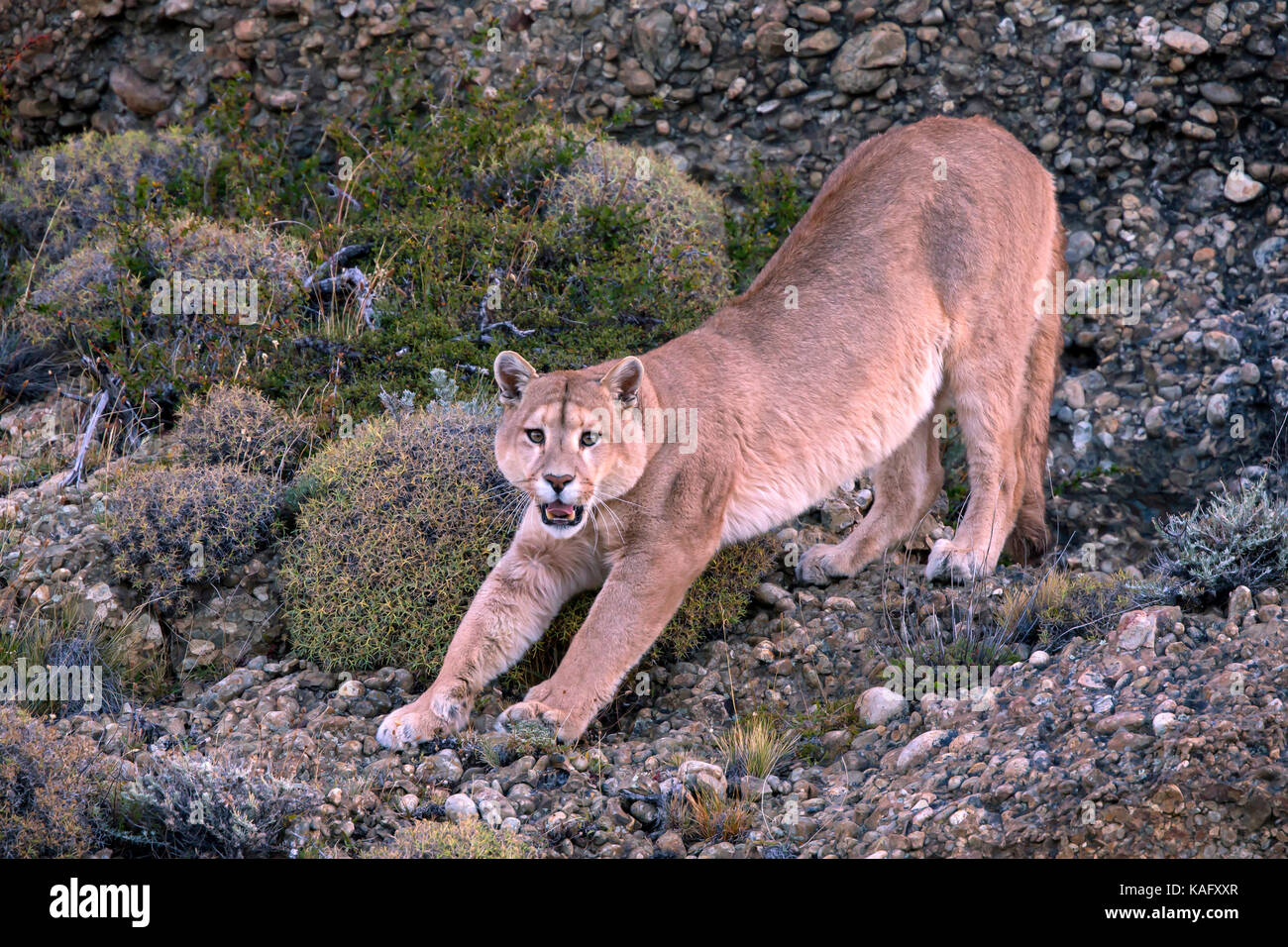 mountain lion guy porn