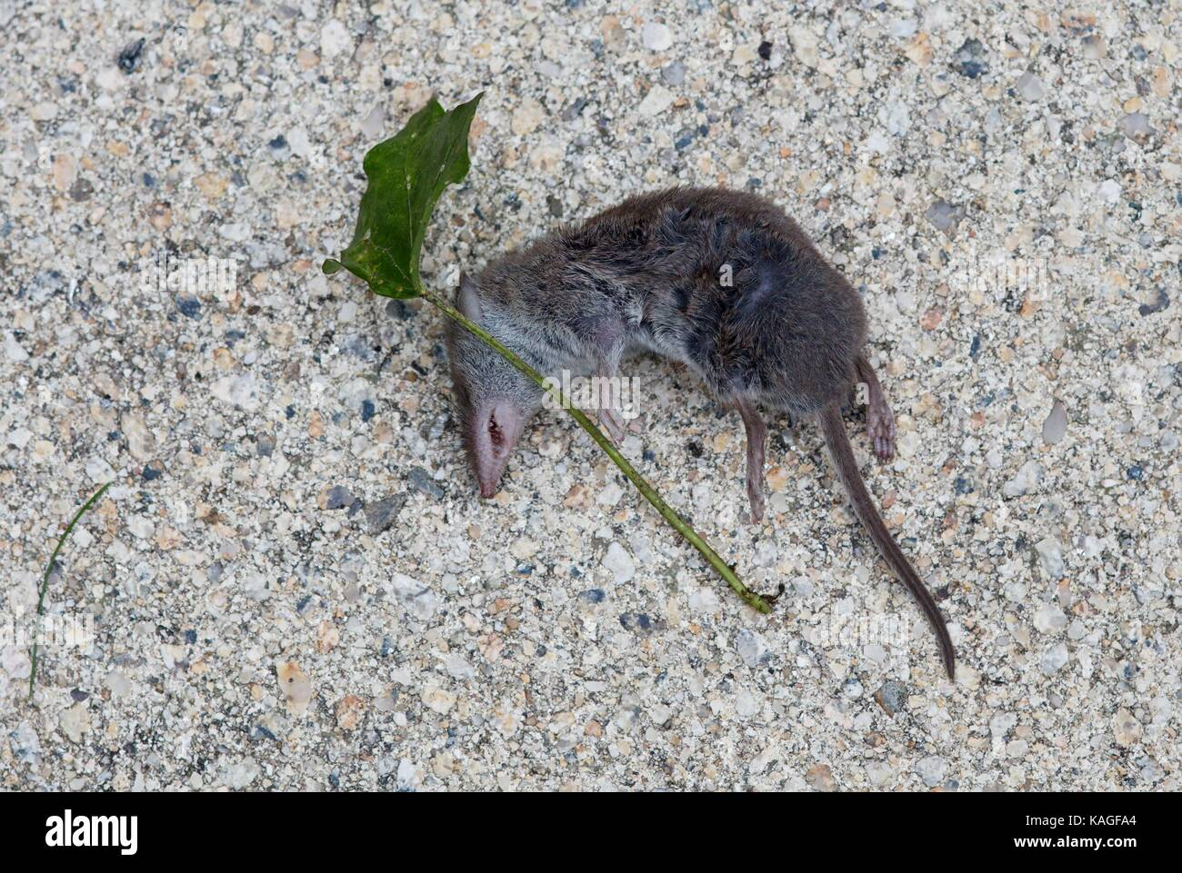 greater-white-toothed-shrew-dead-on-terr