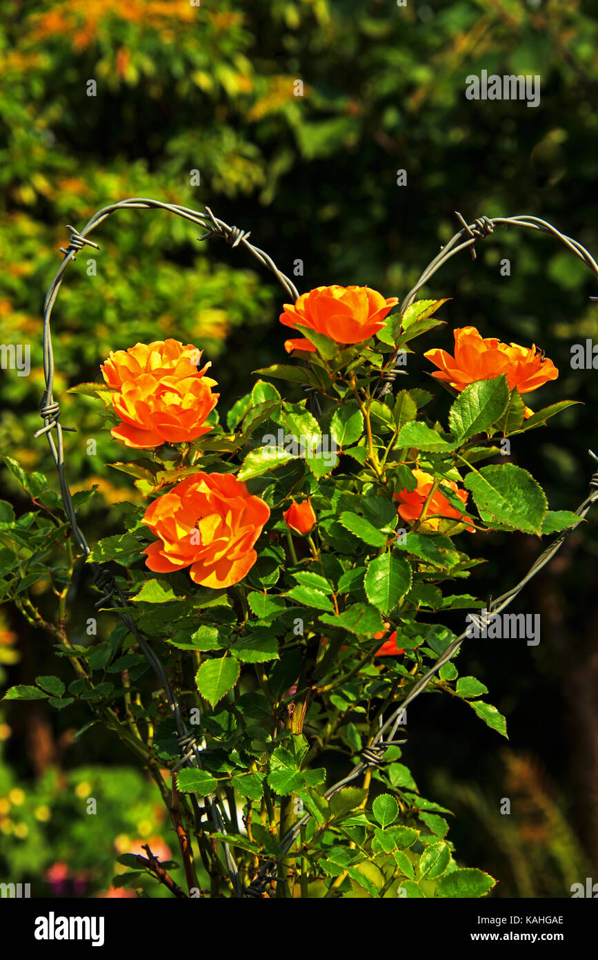 Bouquet of barbed wire - Stock Image