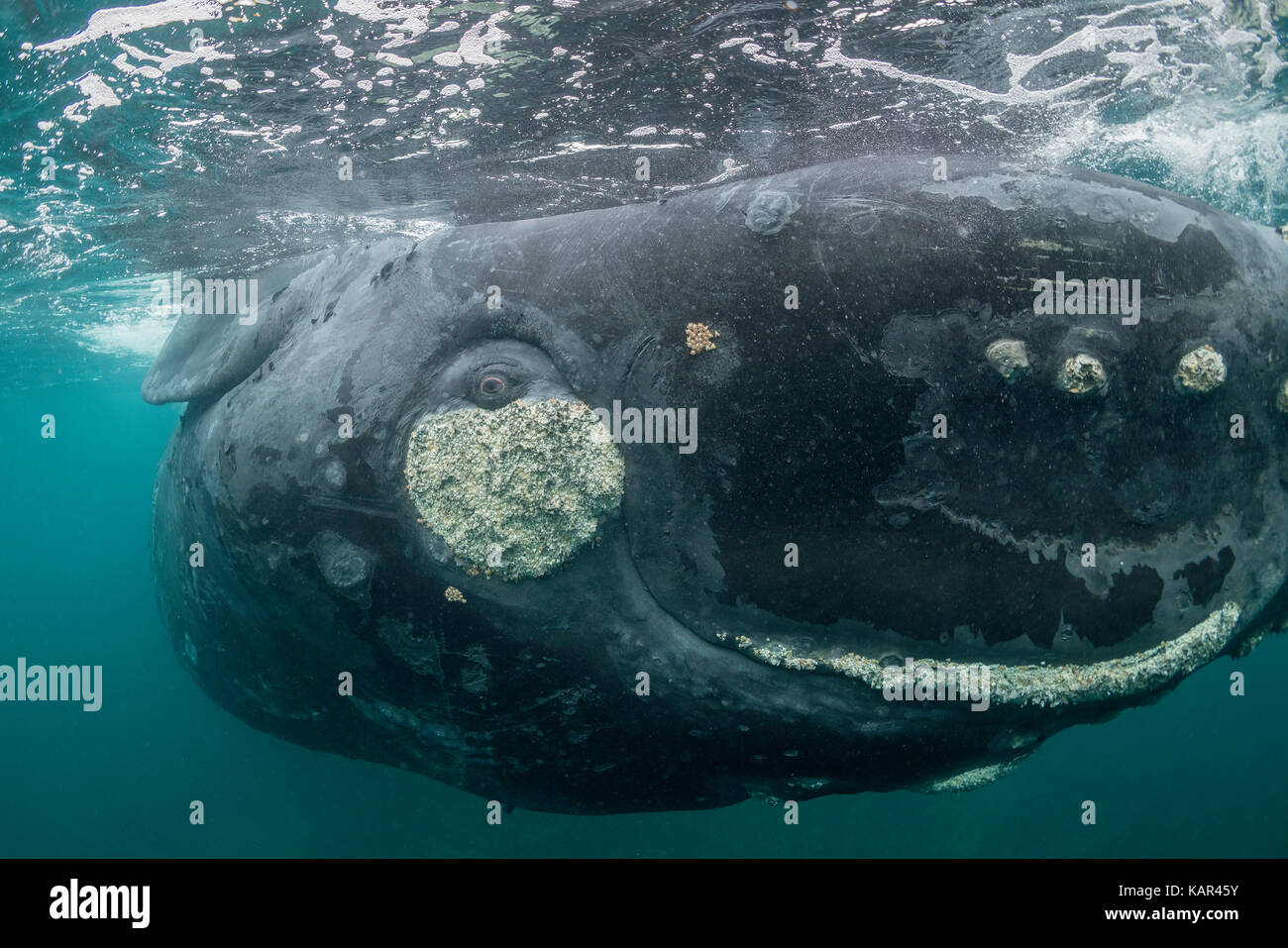Extreme close up of a curious southern right whale rolling about at the surface, Valdes Peninsula, Patagonia, Argentina. - Stock Image