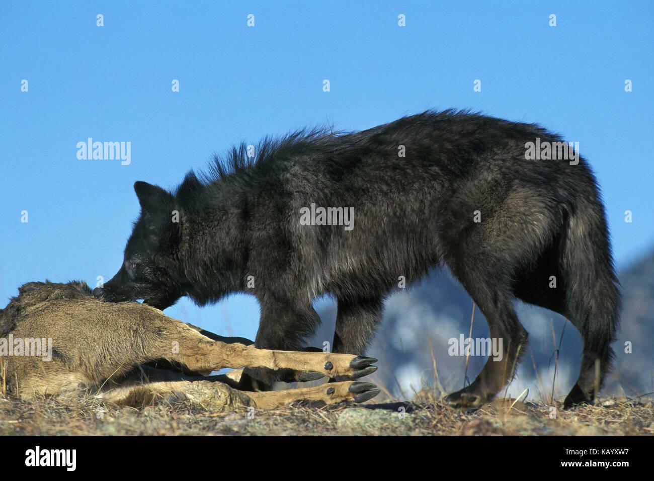 Mackenzie valley wolf - photo#37