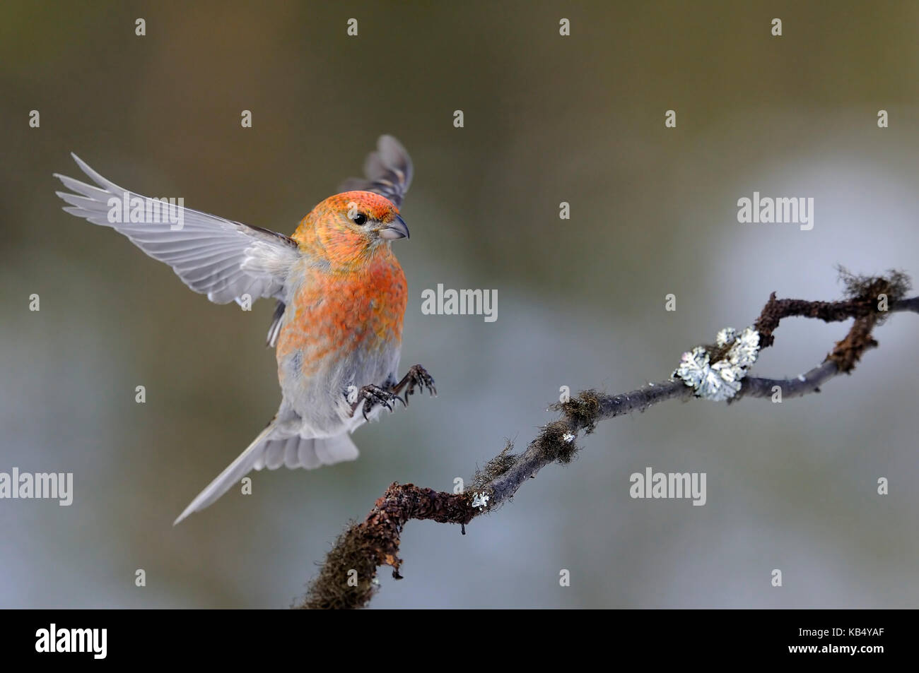 A male Pine Grosbeak (Pinicola enucleator) is just landing on a branch with feet ready to land, Finland, Lapland, - Stock Image