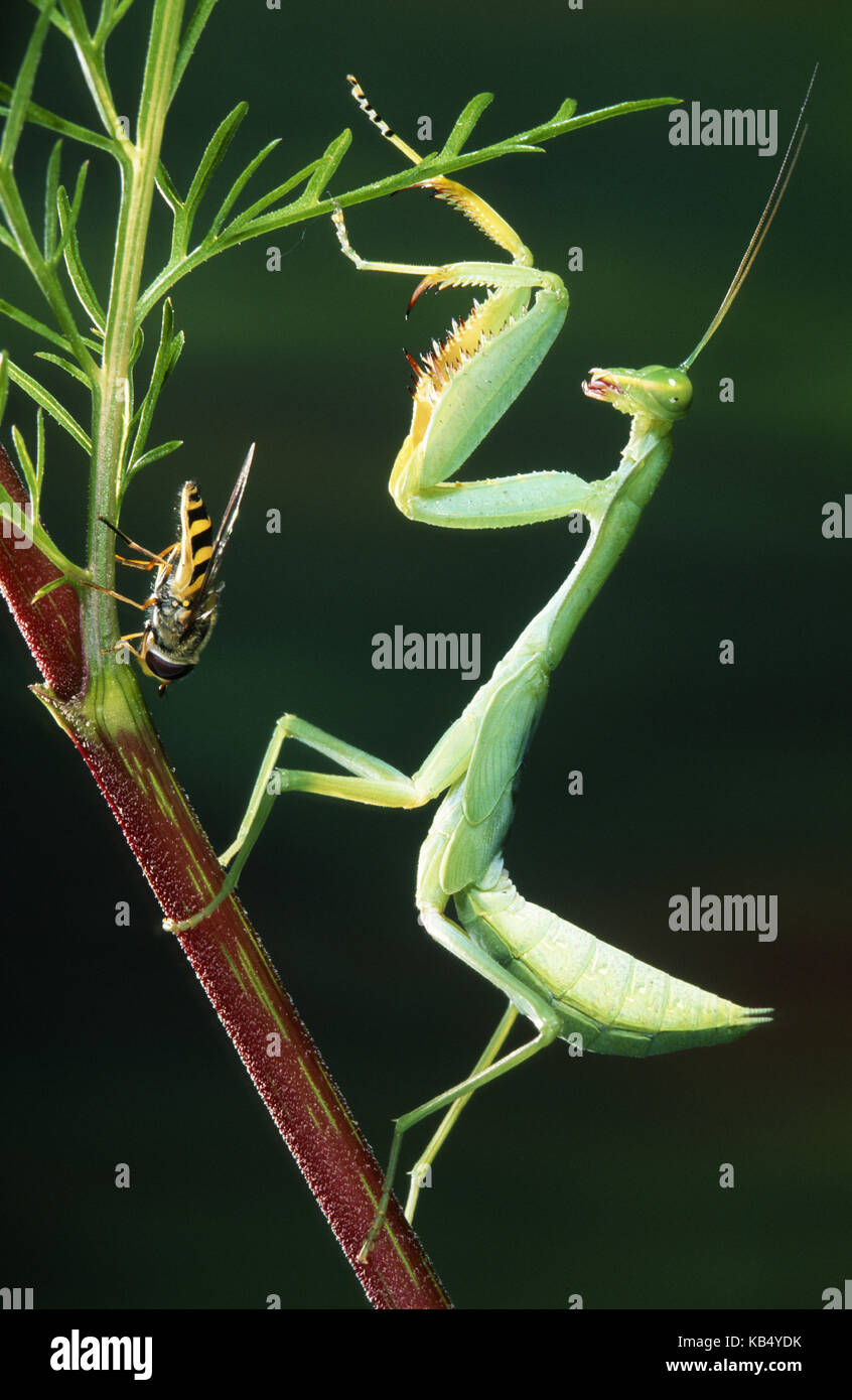 Praying Mantis (Mantis religiosa) on aq plant stem next to a hoverfly, Belgium - Stock Image