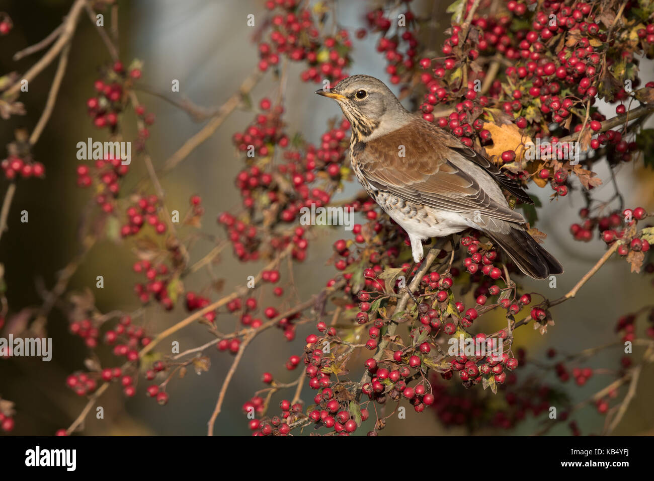 Fieldfare (Turdus pilaris) perched on a Hawthorn (Crataegus monogyna) full of berries, The Netherlands, Gelderland, - Stock Image