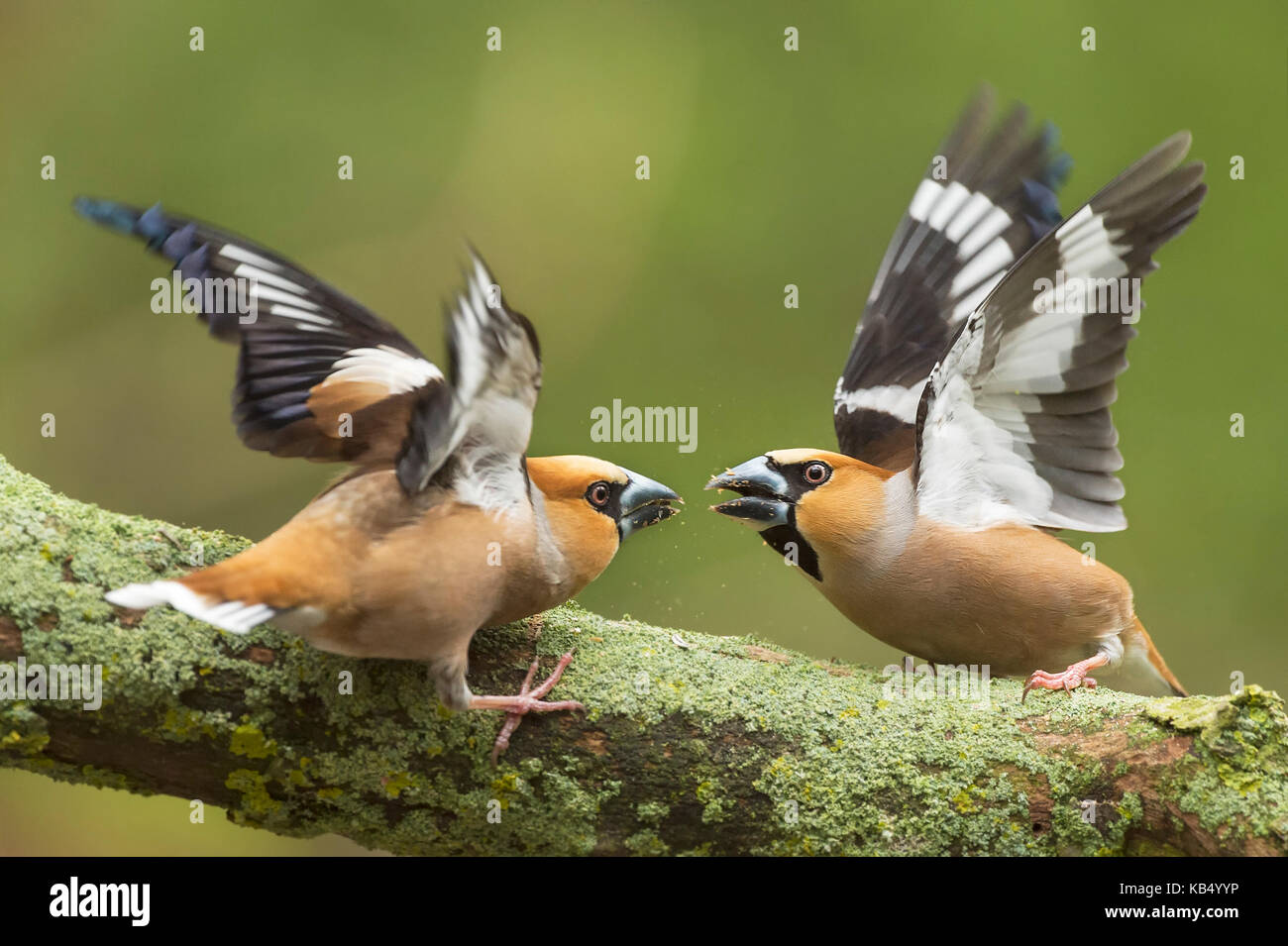 Hawfinch (Coccothraustes coccothraustes) adult male fighting, The Netherlands, Utrecht - Stock Image