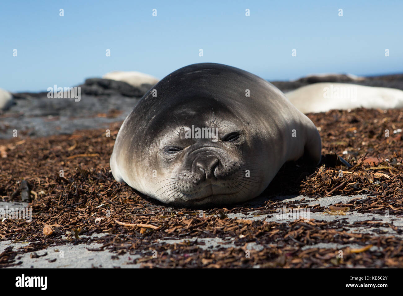 Elephant Seal (Mirounga leonina) young resting on beach during breeding season, Falkland Islands, Sea Lion Island - Stock Image