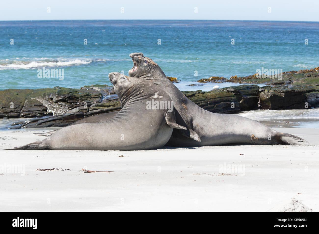 Elephant sea lion