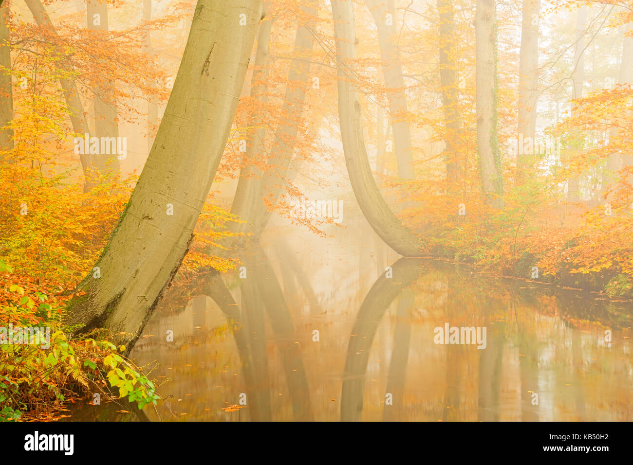 river Twickelervaart flowing through the autumn forest of European Beech (Fagus sylvatica), The Netherlands, Overijssel, - Stock Image