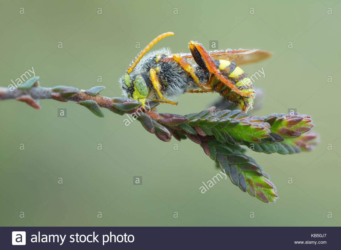 Gooden's Nomad Bee (Nomada goodeniana) resting on stem, The Netherlands, Noord-brabant, Dommeldal - Stock Image