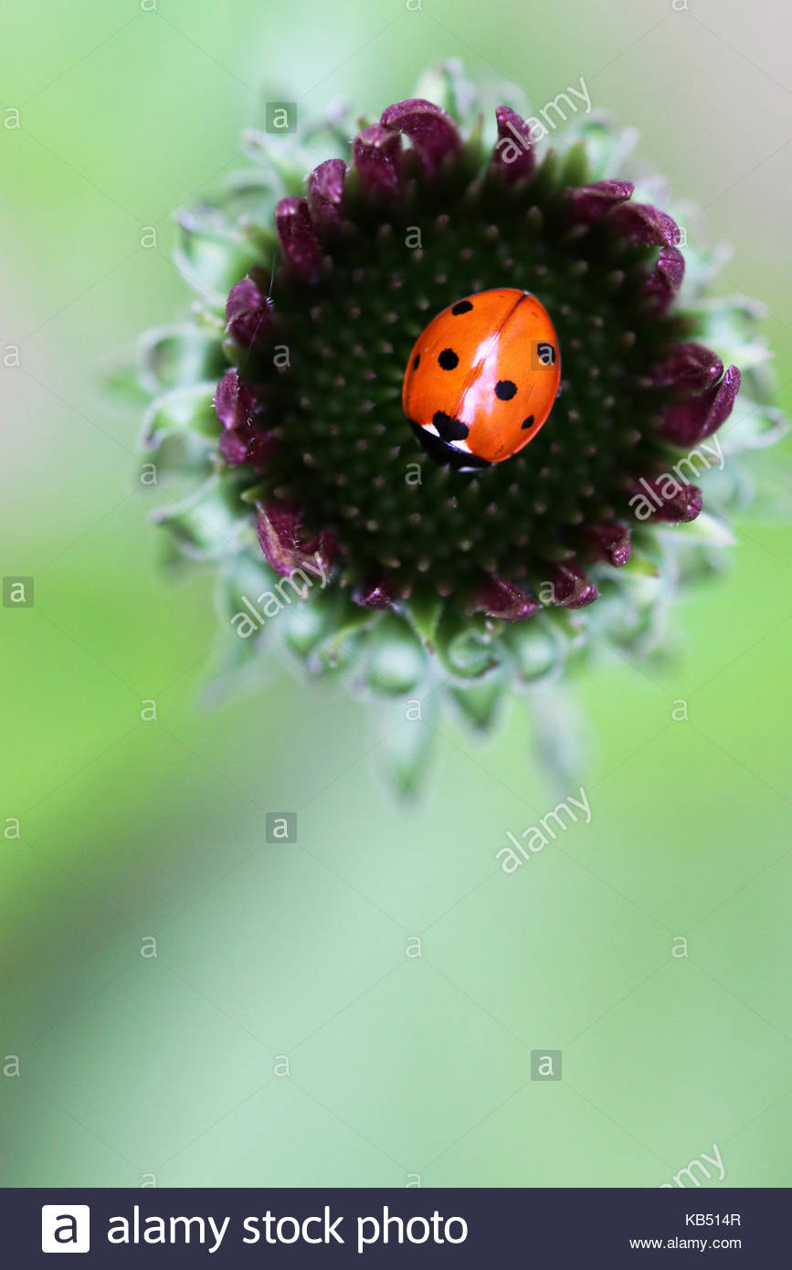 Ladybug (Coccinellidae) on a Purple Coneflower (Echinacea purpurea) bud, Cuijk, Noord-Brabant, The Netherlands - Stock Image