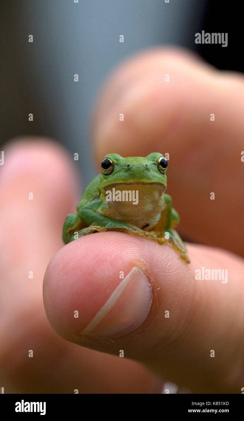 European Tree Frog (Hyla arborea) sitting on finger, Allier, France - Stock Image