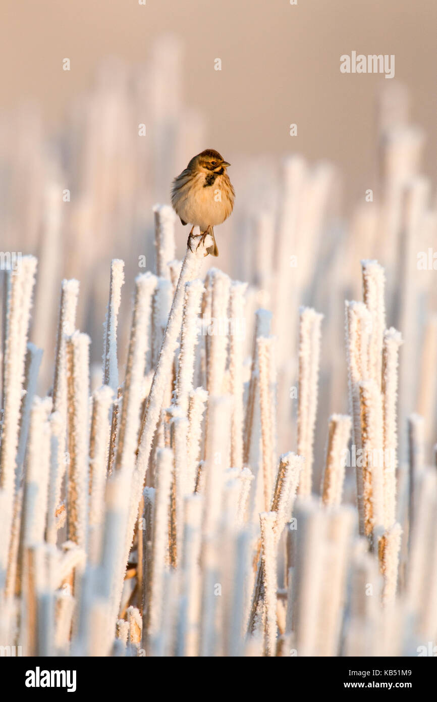 Reed Bunting (Emberiza schoeniclus) on top of snow-covered reeds, The Netherlands - Stock Image