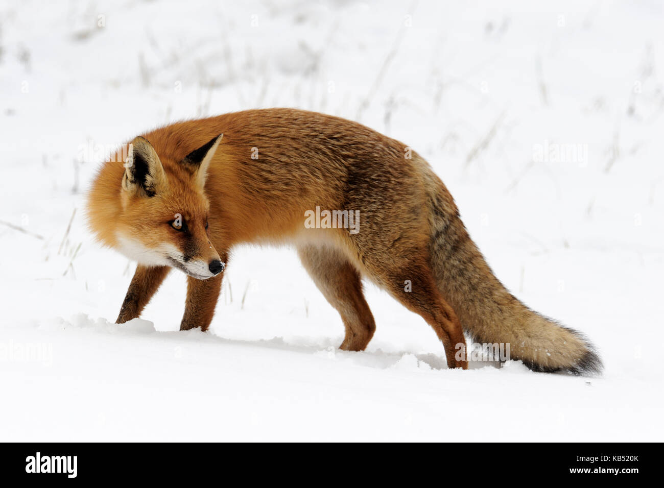 Red Fox (Vulpes vulpes) in snow, Noord-Holland, The Netherlands - Stock Image