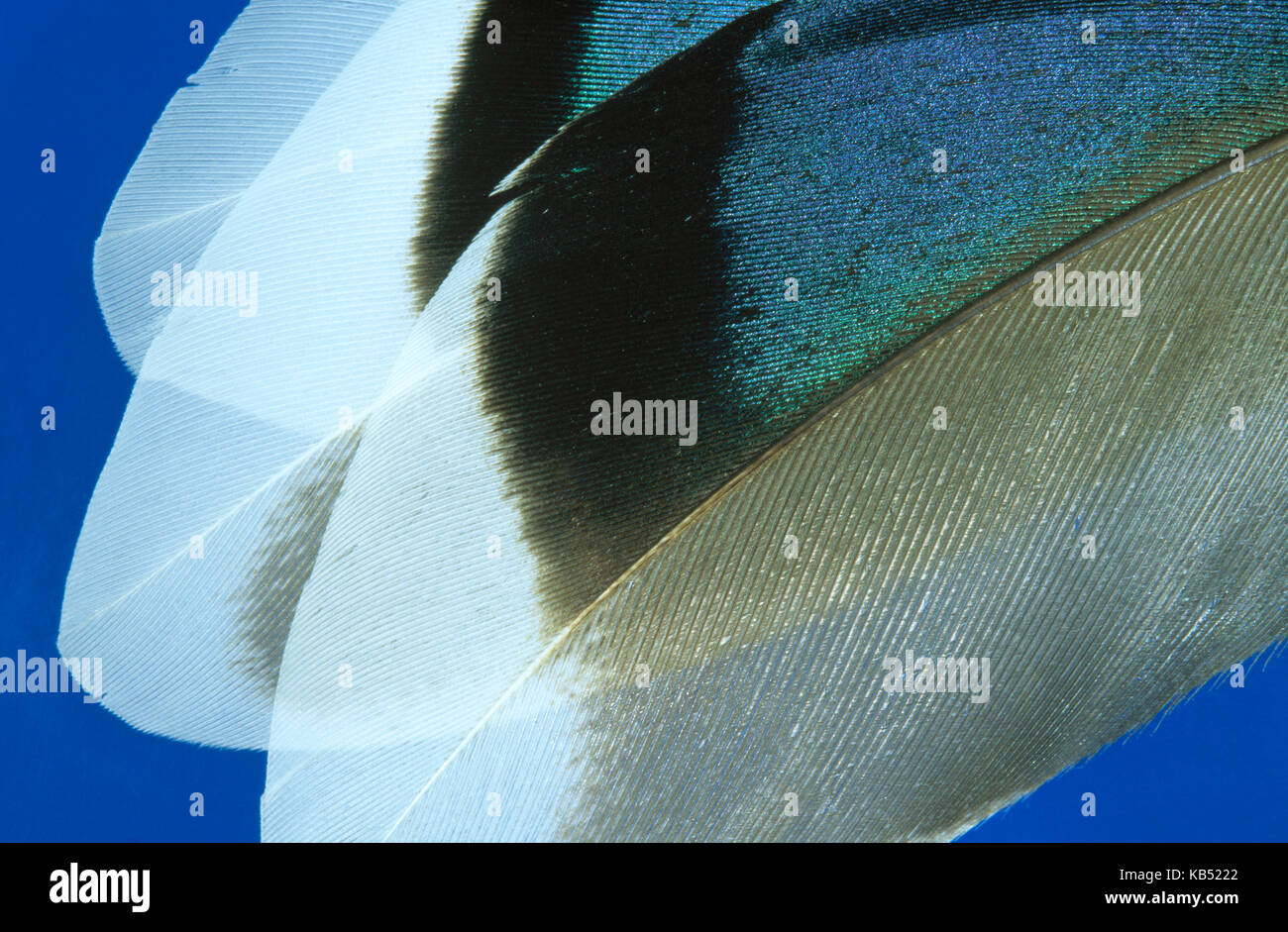 Mallard (Anas platyrhynchos) close up of feathers, Europe, Europe - Stock Image