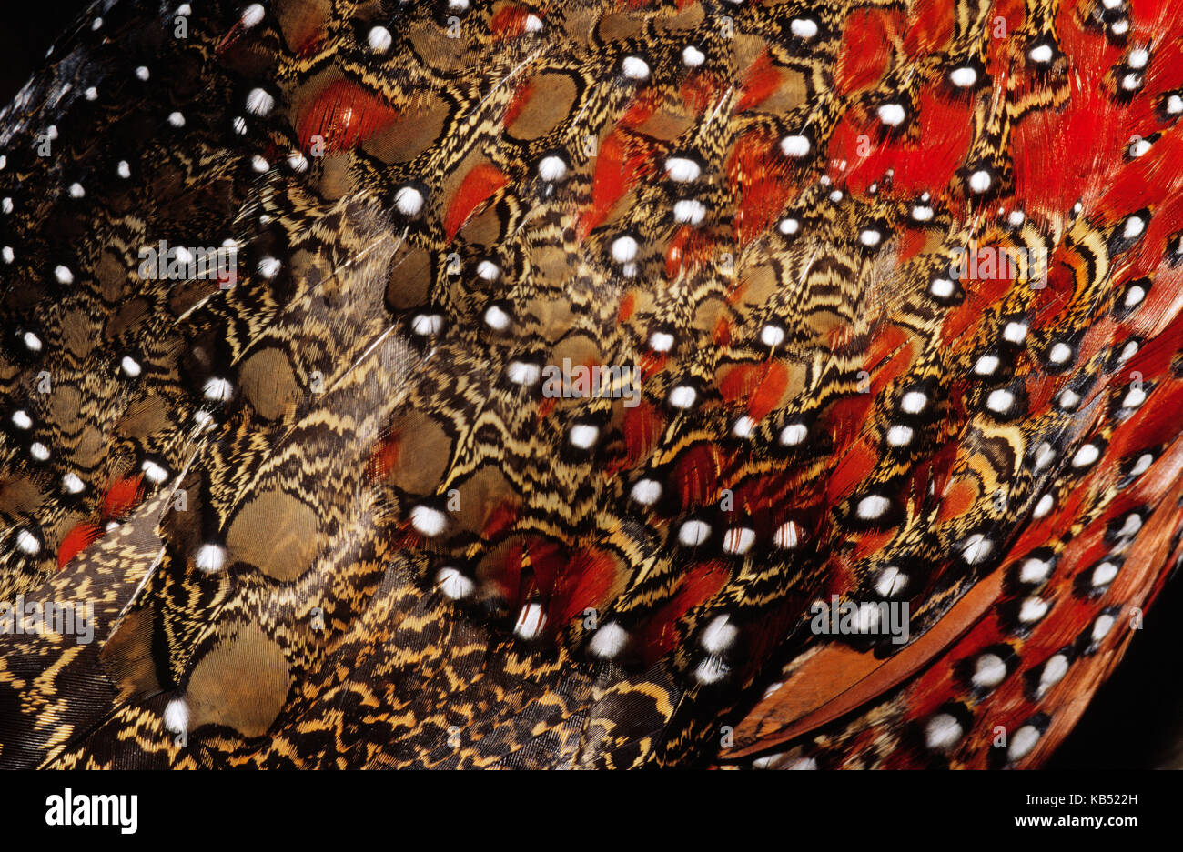 Ring-necked Pheasant (Phasianus colchicus) detail of back feathers from a male, Europe - Stock Image