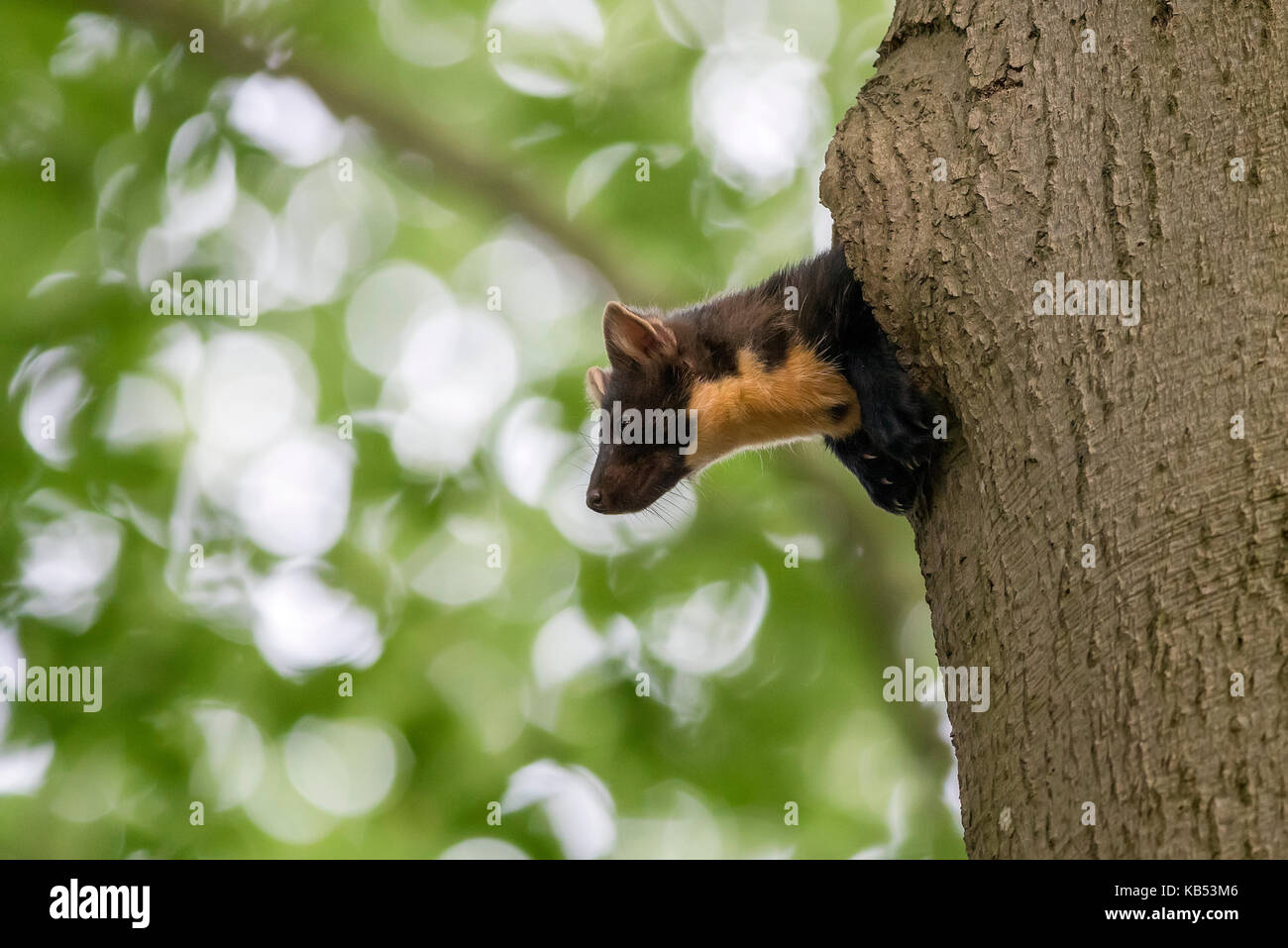 Pine Marten (Martes martes) adult female looking from a beech tree nest hole, The Netherlands, Utrecht, Utrechtse - Stock Image