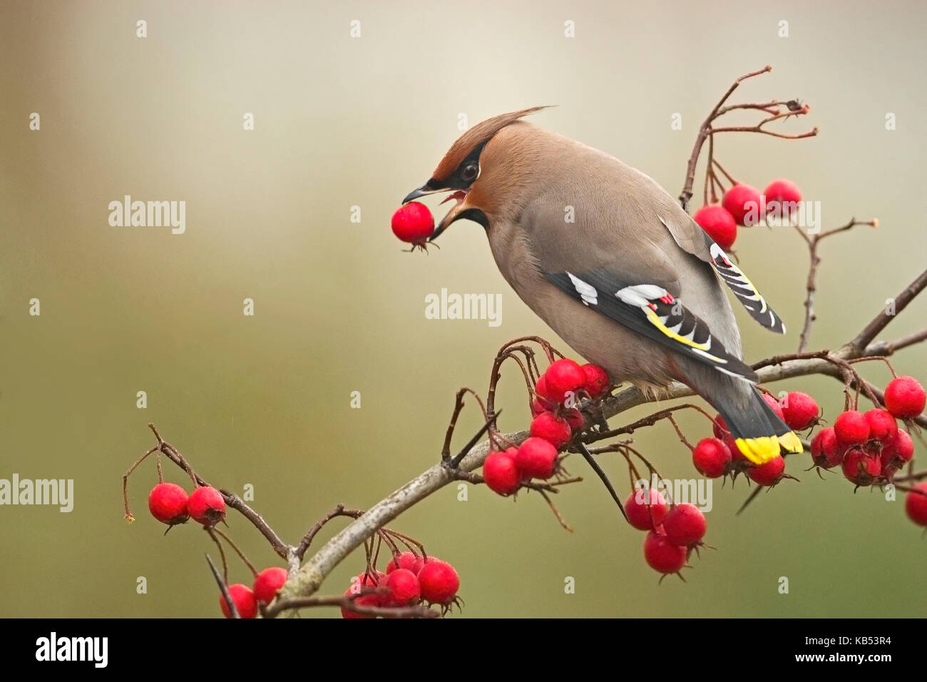 Bohemian Waxwing (Bombycilla garrulus) eating a berry, The Netherlands - Stock Image