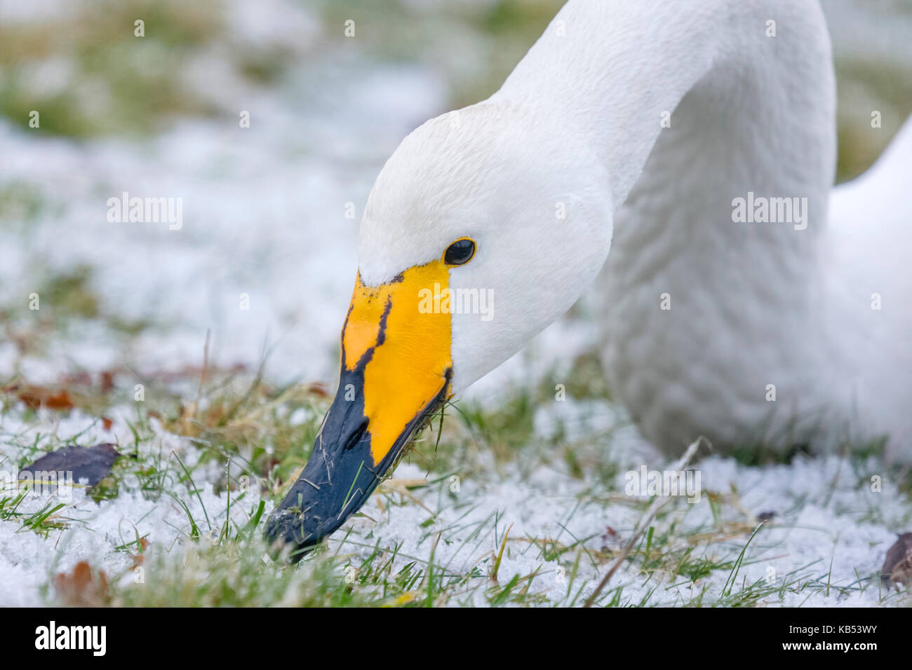 Close up of Whooper Swan (Cygnus cygnus) head, The Netherlands, Flevoland, Lelystad - Stock Image