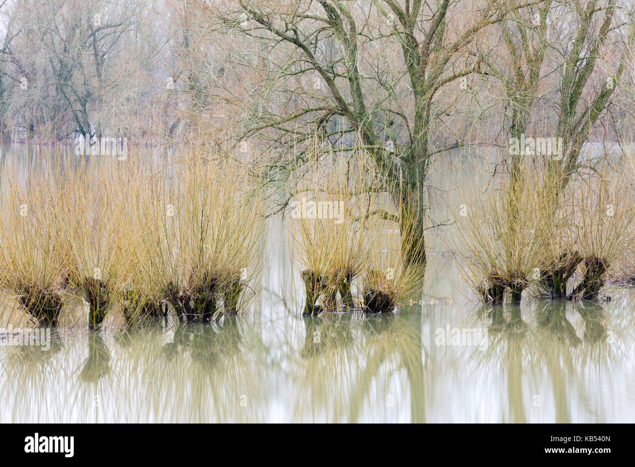 High water level in the floodplain of river IJssel with Willows (Salix sp), The Netherlands, Overijssel, IJssel, - Stock Image