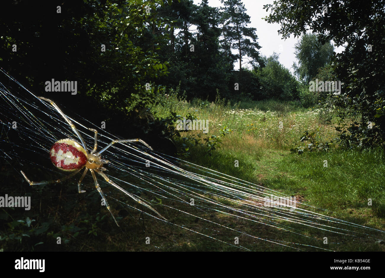 Cobweb Spider (Theridion sp.) in its web in landscape, Belgium - Stock Image