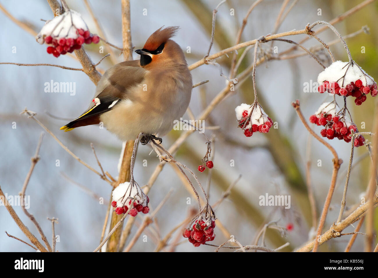 Bohemian Waxwing (Bombycilla garrulus) perched on a snow-covered Guelder Rose (Viburnum opulus), Zeewolde, Flevoland, - Stock Image