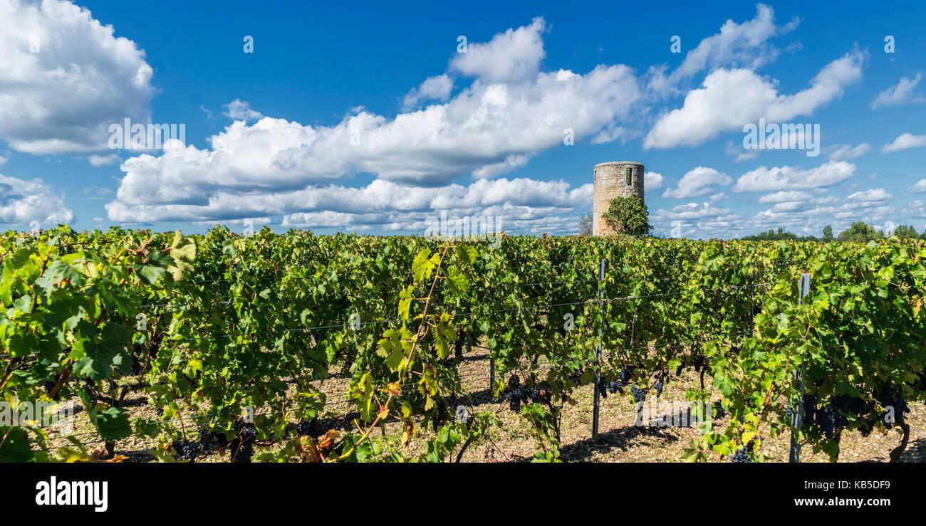 vineyards in Medoc, Bordeaux, Gironde, Aquitaine, France, Europe, - Stock Image