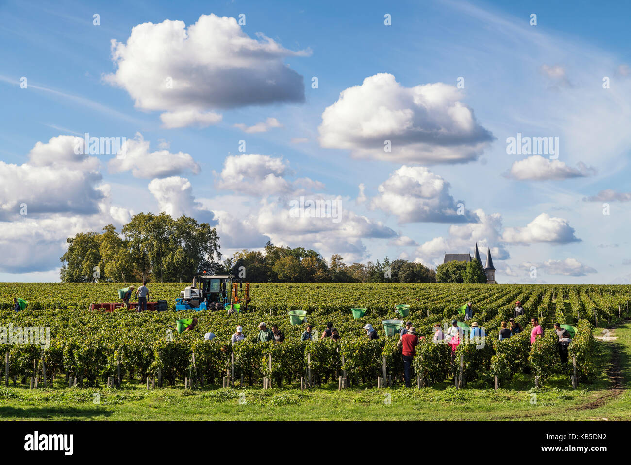 Chateau Pichon Baron , vineyard in Medoc, grape harvest,  Pauillac,   grapevine, Bordeaux, Gironde, Aquitaine, France, - Stock Image