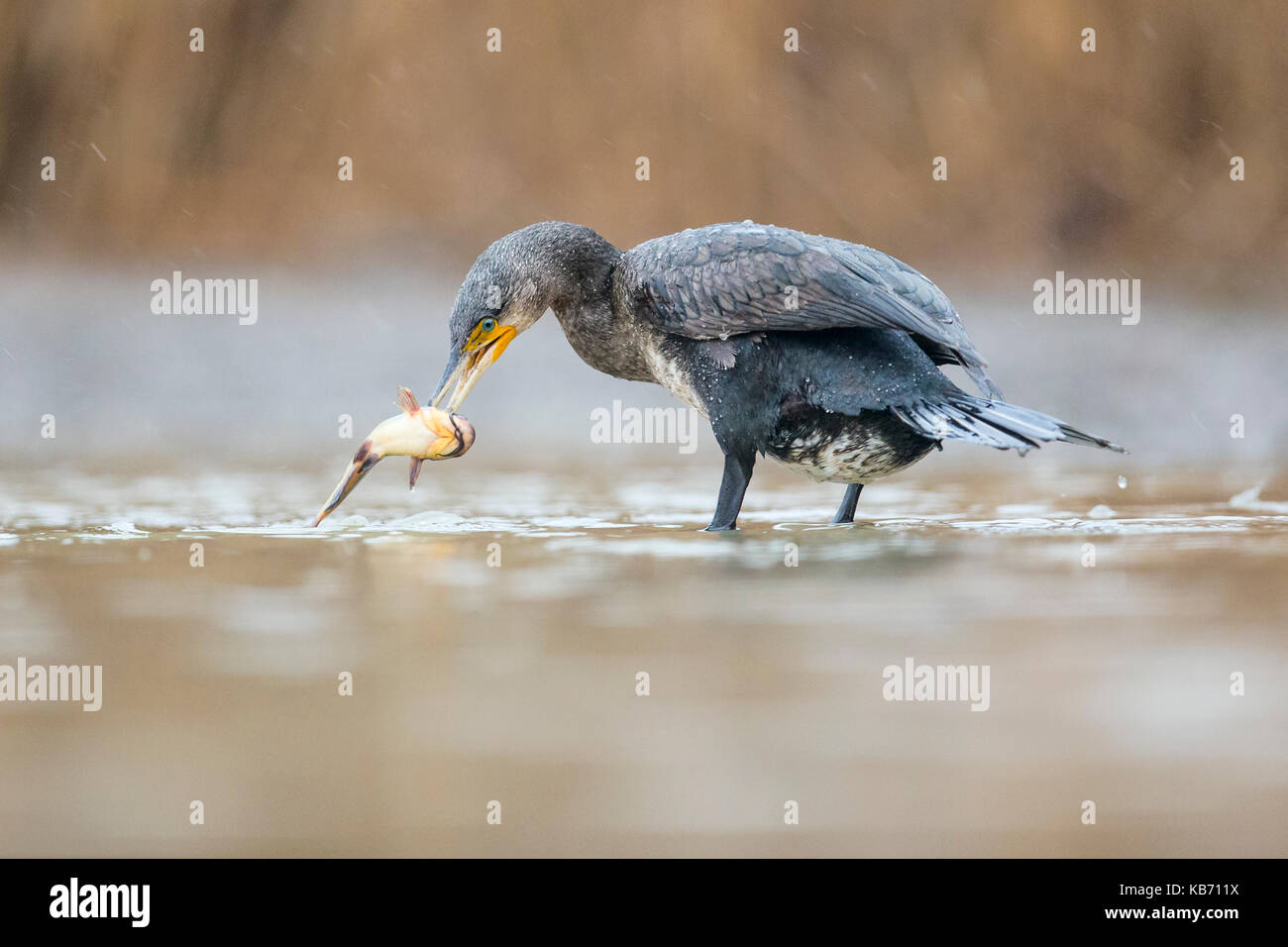 Great Cormorant (Phalacrocorax carbo) catching a fish, Hungary, Bacs-Kiskun, Kiskunsagi National Park - Stock Image