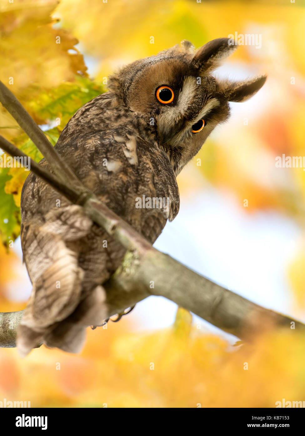 Long-eared Owl (Asio otus) perched in a tree between autumn leaves, The Netherlands, Gelderland - Stock Image