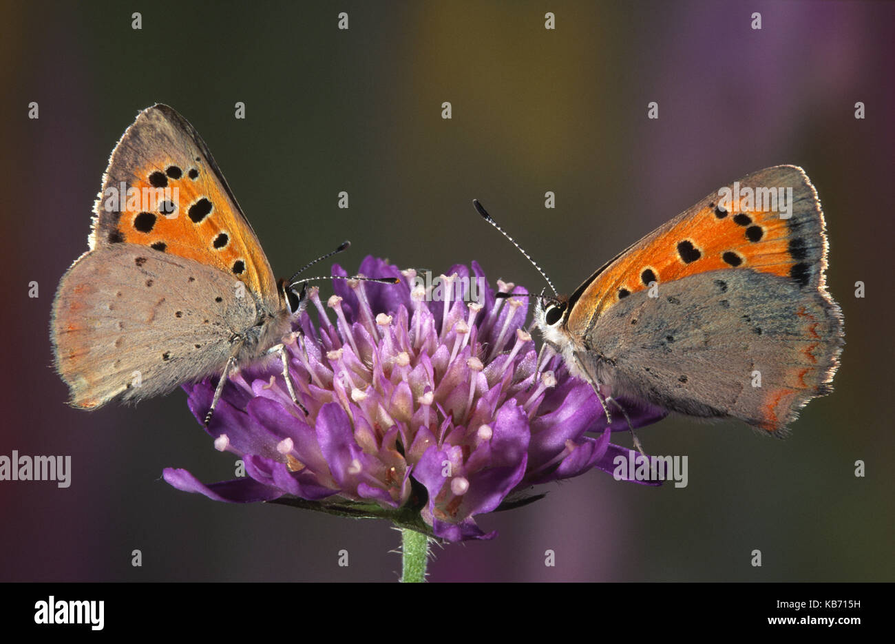 Small Copper (Lycaena phlaeas) butterflies resting on a flower, Belgium - Stock Image
